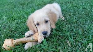 cute golden retriever puppies for sale. Simple For Very Cute Golden Retriever Puppy Ready To Go For Sale In Edgemere  Massachusetts With Cute Puppies For Sale R