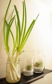 keep green onions fresh green onions