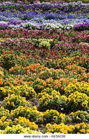 flowers in rainbow colors growing in rows as a crop gilroy california stock image