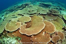 Table top covering Protector Table Top Coral acropora Hyacinthus Covering Coral Reef At Pulaa Thila Maldives Theballisflat Minden Pictures Stock Photos Table Top Coral acropora Hyacinthus