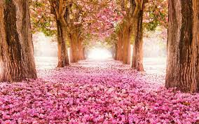 pink blossom flowers spring tree hd wallpaper desktop wallpapers high definition monitor free amazing background