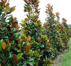 Magnolia grandiflora - for the front garden along the fence line (for  screening)