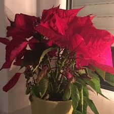 Weihnachtsstern Noch Zu Retten Weihnachten Pflanzen Blumen