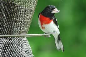 Birds  Eastern Sierra AudubonBackyard Bird Watch
