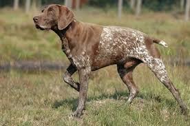 Γιατί ονομάστηκε ο σκύλος Pointer...