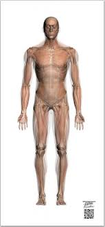 Transparent Muscle Chart A P Life Sized Collection