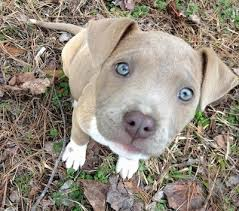 close up topdown view of a blue nose blue e pit bull terrier