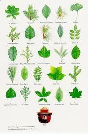 Common North American Tree Leaf Identification Tree Leaf