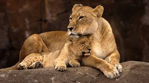 Small Picture lion mom cubngsversion1469132764701jpg
