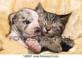 puppies and kittens sleeping.  Puppies Animal Friendship Great Dane Puppy And Kitten  Sleeping Inside Puppies And Kittens Sleeping N