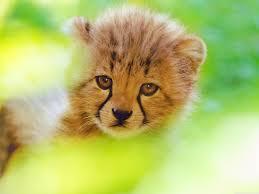 cheetah cub face hd wide wallpaper for 4k uhd widescreen desktop smartphone