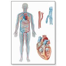 Human Blood Flow Chart Human Blood Circulation Chart