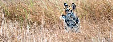 illegal wildlife trade threats wwf tiger in tall grass