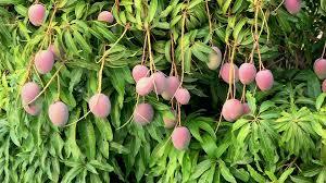 BREADFRUIT  Jamaica Fails To Capitalise On High Demand Overseas Jamaican Fruit Trees