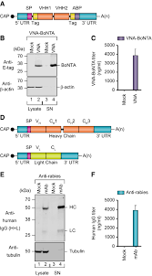 Curevac's vaccine candidate, cvncov, is an mrna vaccine. Mrna Mediates Passive Vaccination Against Infectious Agents Toxins And Tumors Embo Molecular Medicine