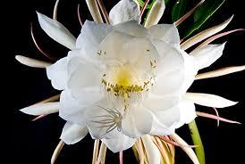 essay chrysanthemums similar articles