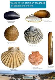 Clam Identification Chart Guide To Common Seashells Of Britian And Ireland