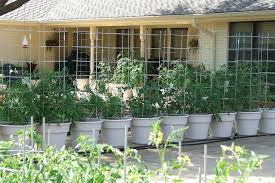 Growing Tomatoes In ContainersContainer Garden Plans Tomatoes