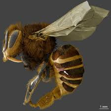 Varroa Mites Feed Primarily On Honeybee Fat Body Tissues