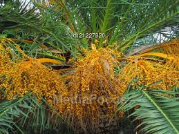 Palm Tree With Bright Orange Fruits  Stock Photo DT21227320Palm Tree Orange Fruit