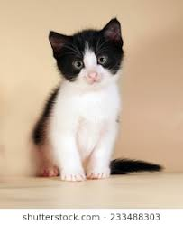 black and white kittens. Simple Kittens Black And White Kitten Sitting On Yellow Background Intended And White Kittens L