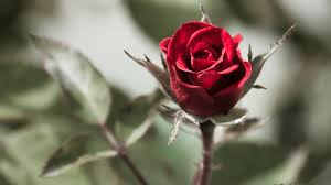 life is better with a cute outfit single red rose wallpapers for