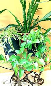 indoor plants low light safe for cats houseplants hanging lightweight indo