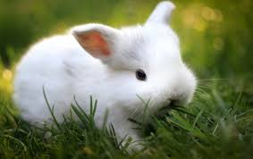 cute white baby rabbit wallpapers