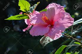 Light Pink Hibiscus Beautiful Pink Hibiscus Flower Growing In The Wild With Light