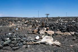 photo essay families struggle for survival in drought stricken  goat carcasses litter a cemetery in maikona