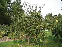 Greensleeves Apple Tree  Trees Flowers Fruit  Pinterest Medley Fruit Tree