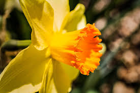 narcissus blurbomat narcissus 2