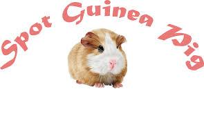 spot guinea pig