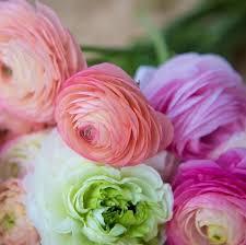 ranunculus bulbs bridal bouquet mix