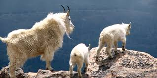 Image result for herd of mountain goats