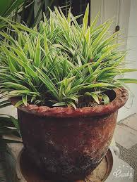 The 25+ best Indoor plants india ideas on Pinterest | Plants indoor,  Flowering house plants and House plants