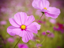 garden flowers. Cosmos Is A Great Cottage Garden Flowers. It\u0027s Airy, Profuse Bloomer And It Self-sows. Aromal Anil / EyeEm Getty Images Flowers E