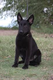 black german shepherd puppies for sale. Plain Shepherd ZiskablackGermanShepherdpuppyforsaleArizonajpg In Black German Shepherd Puppies For Sale A