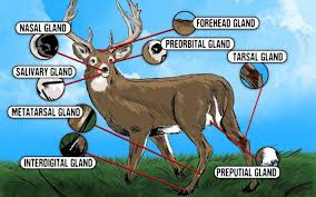 The Deer Hunters Guide To Whitetail Glands Deer Hunting