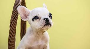 French Bulldog Color Chart French Bulldog Colors All The Colors A Frenchie Can Have