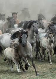 wild horses galloping. Contemporary Wild By Karen Van Gerner A Group Of Wild Horses Galloping Right In My Direction  Location Germany Dlmen On Wild Horses Galloping O