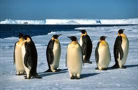 emperor penguin habitat.  Habitat Emperor Penguin Facts To Emperor Penguin Habitat