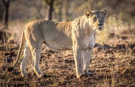 lioness. Exellent Lioness Lionessstandingstill Throughout Lioness Africa Geographic