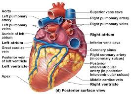 Anatomy Of The Heart Chart Image Heart Anatomy Posterior Surface View With Labels