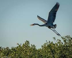 Blue Heron flying Corpus Christi bird tours - Blue Heron Adventures