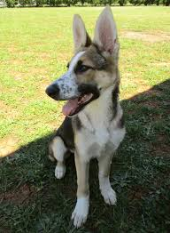 black and white spotted german shepherd. Simple White So There Seems To Be Some Misinformation About This Coloration Of German  Shepherds For Black And White Spotted Shepherd