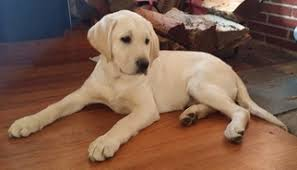 yellow lab puppies for sale. Simple Yellow AKC Yellow Lab Puppy  To Puppies For Sale N