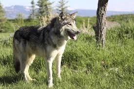 white german shepherd wolf mix puppy. Brilliant Puppy White German Shepherd And Wolf Mix Throughout White German Shepherd Wolf Mix Puppy I