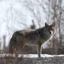 Wolf Species Size Chart Arctic Wolf Facts Diet Habitat Pictures On Animalia Bio