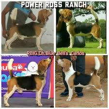 power ross kennels bhel pet training centres in hyderabad justdial